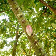 Fleurs et cabosse de cacao
