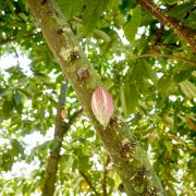 cocoa tree fruit and flower